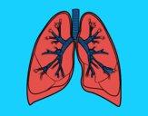 Pulmones y bronquios