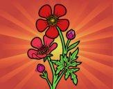 Flor botón de oro