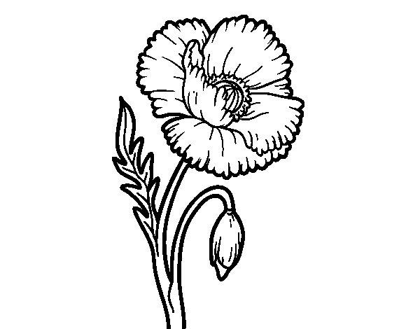 Dibujo de Amapola silvestre para Colorear