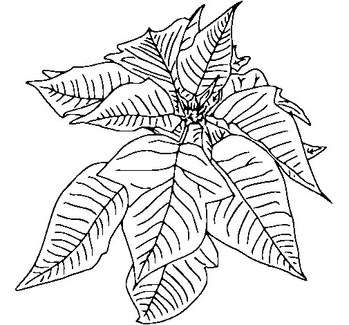 Dibujo de Flor de pascua para Colorear