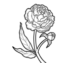 Dibujo de Peonia para colorear