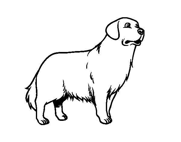 Dibujo de perro golden retriever para colorear for Cane disegno facile