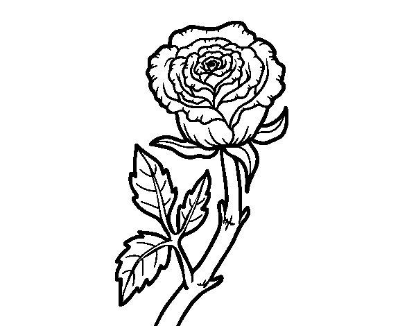 Dibujo de Rosa silvestre para Colorear