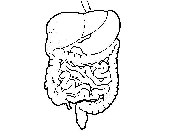 Cuerpo Humano Aparato Digestivo Para Colorear Imagui
