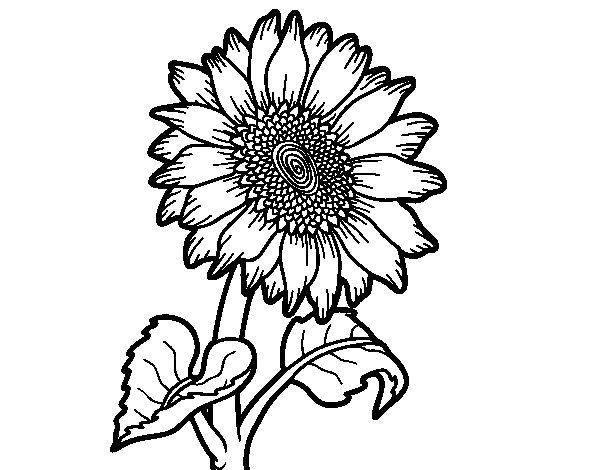 Dibujo de Un girasol para Colorear