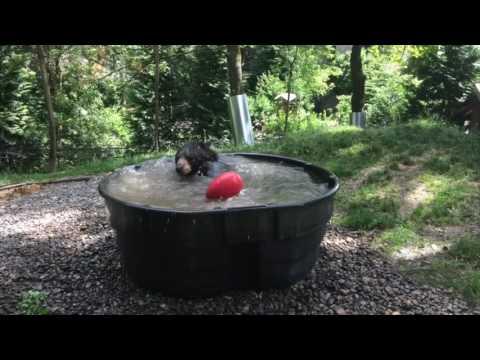 V deo de si juntas un oso gigante y una piscina for Juntas piscina